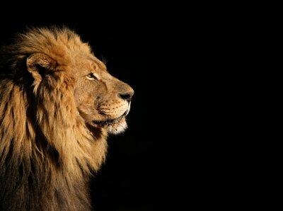 Плакат Портрет большой мужской африканского льва на черном