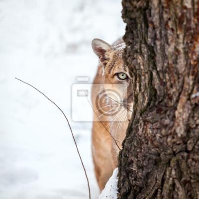 Плакат Портрет пума, горный лев, пума, пума за деревом.