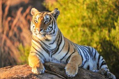 Плакат Портрет тигра