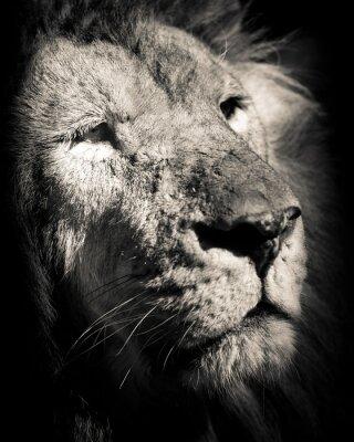 Плакат портрет льва - черно-белая фотография