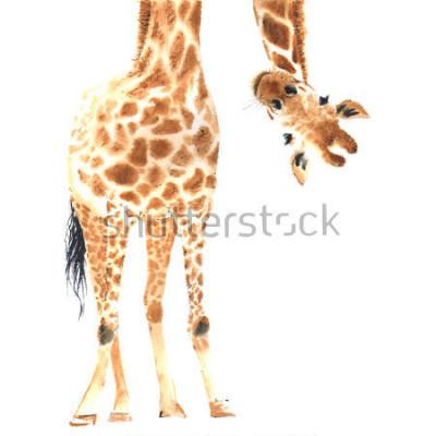 Плакат Реалистичный жираф выполнен в аквареле. Крупный план. Рисованная иллюстрация