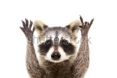 Плакат Портрет смешного енота показывая жест утеса, изолированный на белой предпосылке