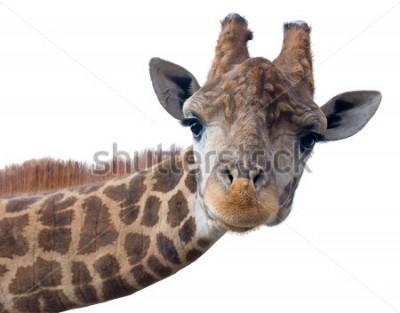 Плакат Голова жирафа на белом фоне