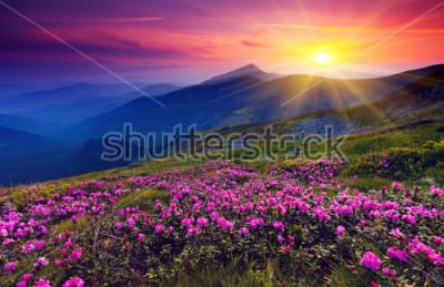 Плакат Волшебные розовые цветы рододендрона на летней горе