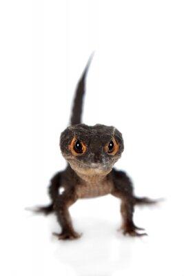 Плакат Красноглазой крокодил сцинков, tribolonotus грацильной, на белом