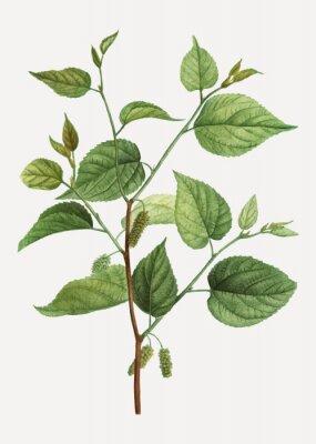 Плакат Red mulberry branch