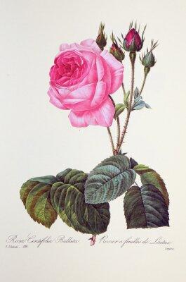 Плакат Роза Centifolia bullata / розы Feuilles де laitue