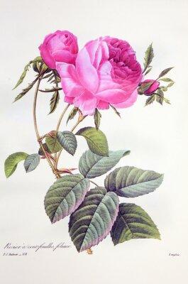 Плакат Роза Centifolia / Роза centfeuilles foliacé