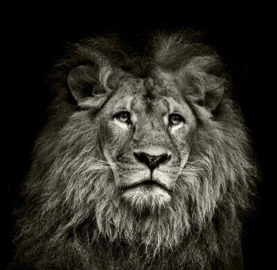 Плакат грустно лев