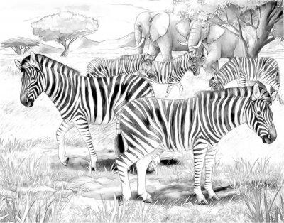 Плакат Сафари - зебры - раскраски странице