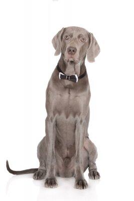 Плакат серьезный веймаранера собака портрет в бабочке
