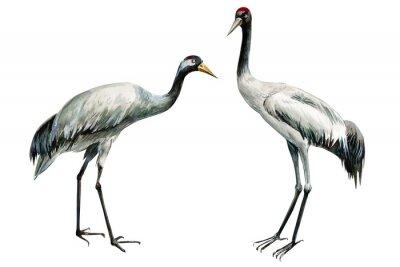 Плакат set of beautiful birds crane on isolated white background, watercolor illustration