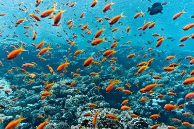 Плакат Шол из Anthias рыб на коралловых рифов