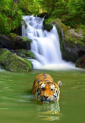 Плакат Амурский тигр в воде
