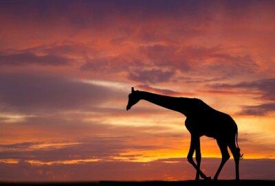 Плакат Силуэт жирафа против красивый закат