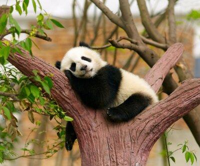 Плакат Спящая гигантская панда ребенка