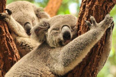 Плакат Спящая коал