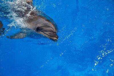 Плакат Улыбка дельфина. дельфины плавают в бассейне