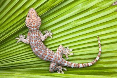 Плакат Пятнистый геккона на зеленом листе ладони.