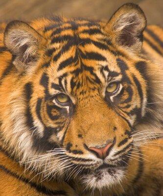 Плакат Суматры тигра