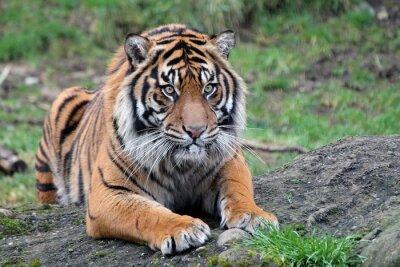 Плакат Суматры Tiger