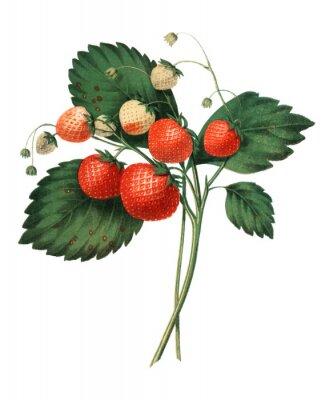 Плакат The Boston Pine Strawberry (1852) by Charles Hovey, a vintage illustration of fresh strawberries. Digitally enhancedby rawpixel.