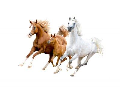 Плакат три арабские лошади на белом