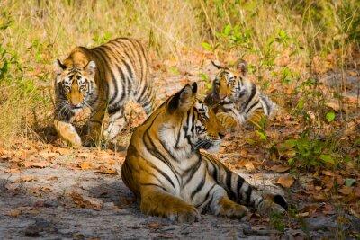 Плакат Три дикий тигр в джунглях. Индия. Национальный парк Бандхавгарх. Мадхья-Прадеш. Отличной иллюстрацией.
