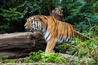 Плакат Тигр
