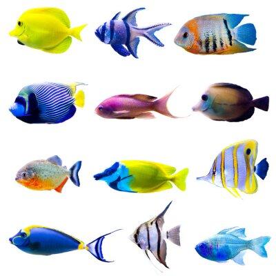 Плакат Тропический коллекция рыб