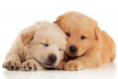 Плакат Две милые щенки чау-чау, изолированных на белом фоне
