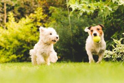 Плакат Две собаки, играющие с мячом.