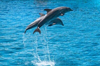 Плакат Два дельфина прыгать выше голубой водой