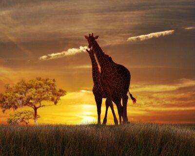 Плакат Два жирафы на закате