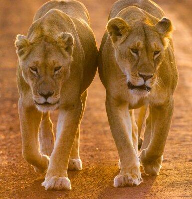 Плакат Две львицы прогулки по дороге в национальном парке. Кения. Танзания. Масаи Мара. Серенгети. Отличной иллюстрацией.