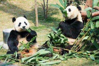 Плакат Две панды едят бамбук