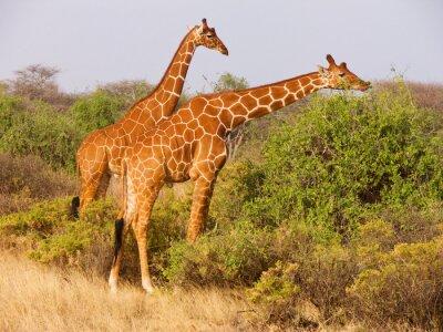 Плакат Два сетчатого жирафа едят листья из кустов