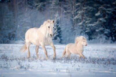 Плакат Два белых коней бежит на поле в зимний период