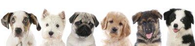 Плакат Несколько щенков - собаки выстроились головы