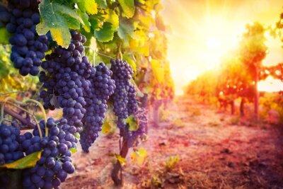 Плакат виноградник с спелого винограда в сельской местности на закате