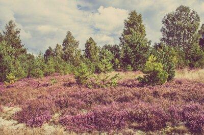 Плакат Старинные фото вереска в лесу, в сельской местности пейзаж.