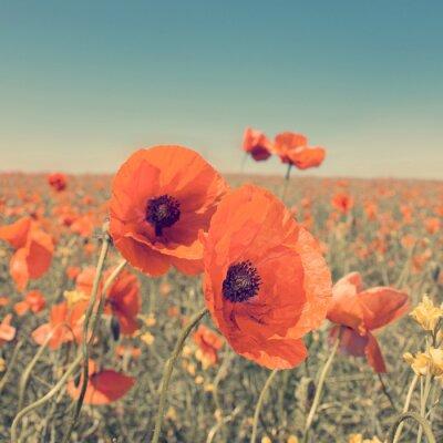 Плакат Vintage photo of summer landscape with wild poppy flowers.