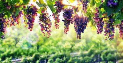 Плакат Виноградарство Солнце Это Созревает Гроздья