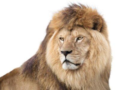 Плакат Бдительный лев могучий