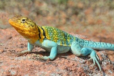 Плакат Western Collard Lizard (Crotaphytus collaris)