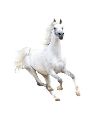 Плакат белый арабская лошадь, изолированных на белом