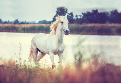 Плакат белый конь бежит на берегу озера