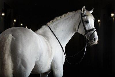 Плакат Белая лошадь на черном фоне
