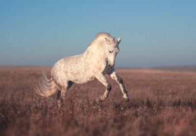 Плакат Белая лошадь бежать