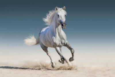 Плакат Белая лошадь бежать галопом